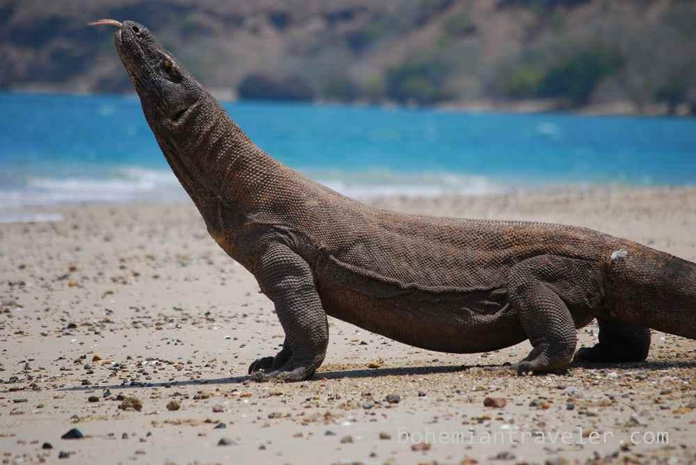 Visiting the Komodo Dragon of Indonesia
