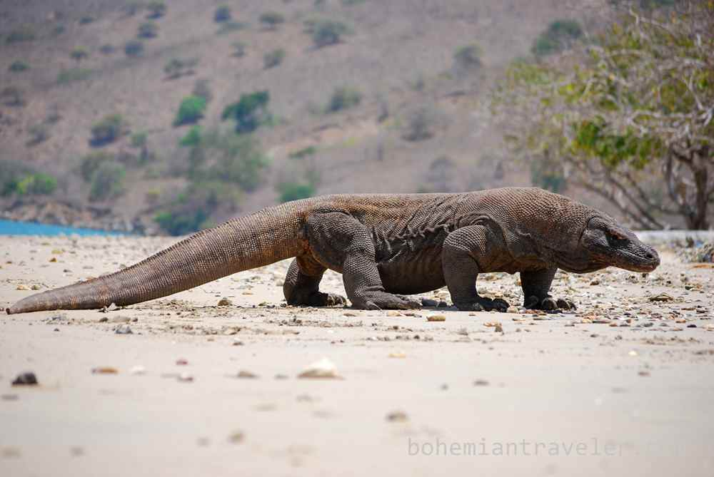[Image: komodo-dragon-indonesia.jpg]