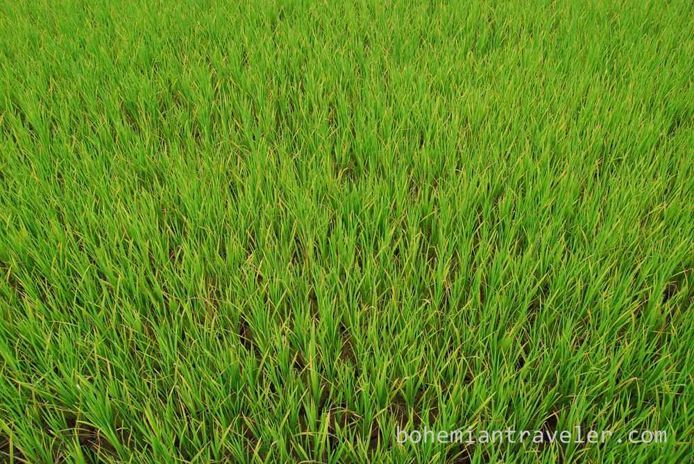rice paddies Sagada (2)