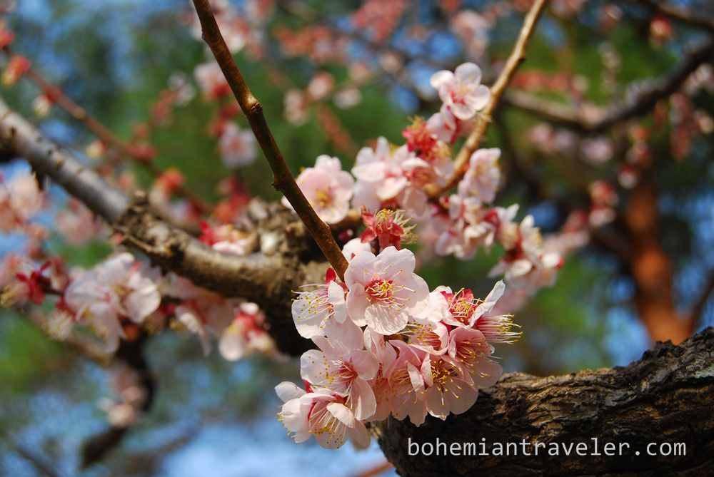 blossoms in Beppu Japan (4)