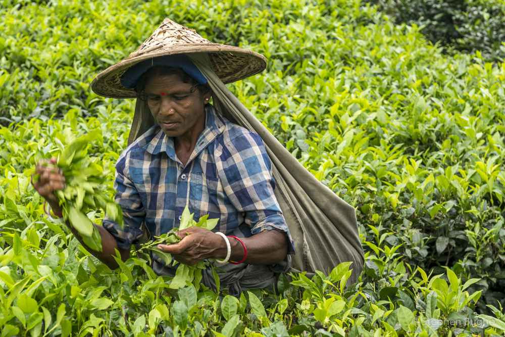 Visiting a Tea Estate in Srimongol, Bagladesh - photo by Stephen Bugno